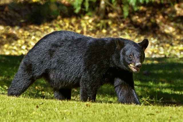 Medveď hnedý.jpg